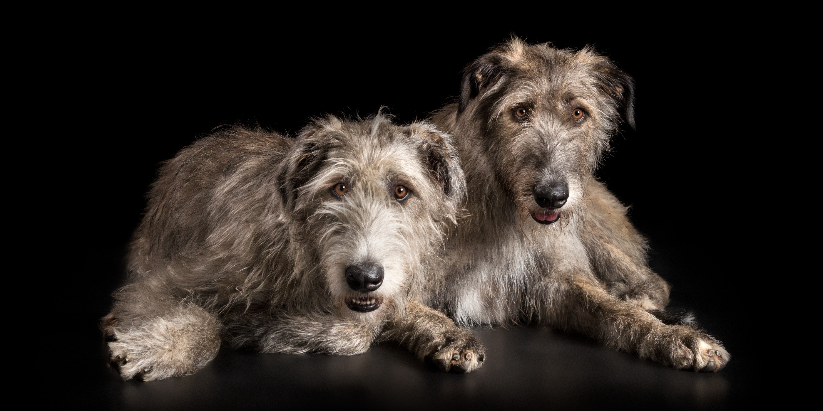lying close together irish wolfhound fur silbings