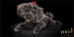 black poodle cross with red bow in hair