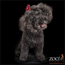 head tilting black poodle cross