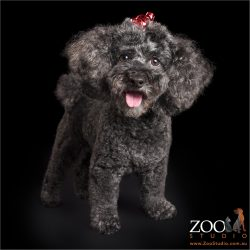 happy smiling black poodle cross