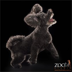 leaping ears flapping black poodle cross