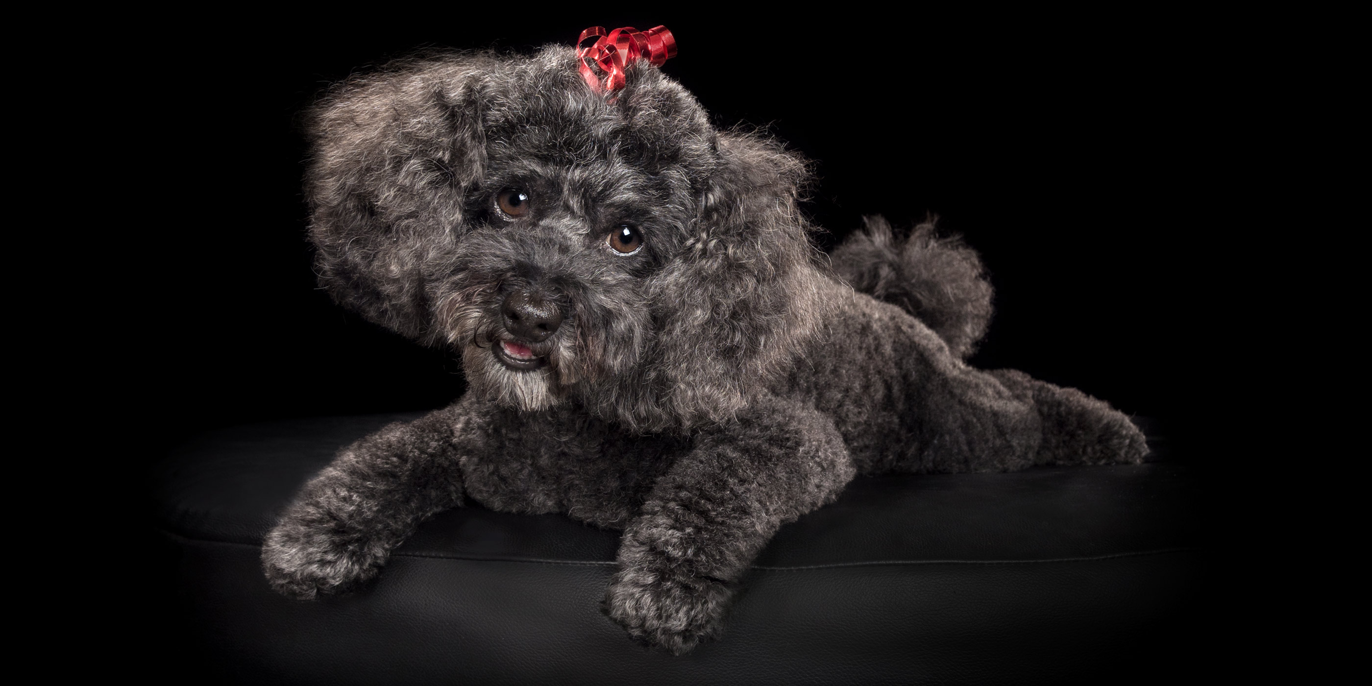 sweet faced fluffy black poodle cross