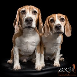 beagle fur-siblings sitting close