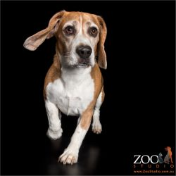 jaunty trotting male beagle with ear flapping