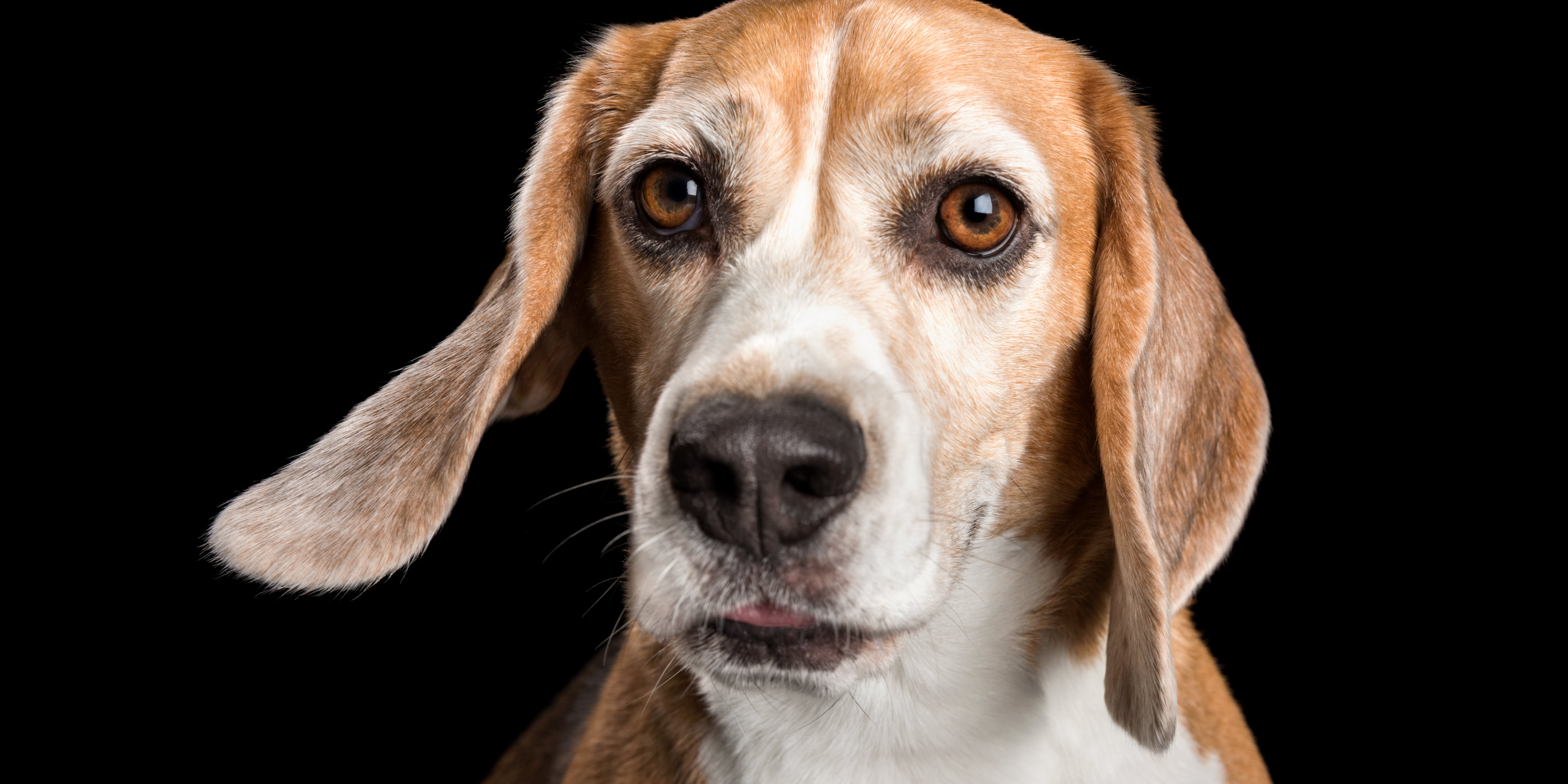 sweet face beagle