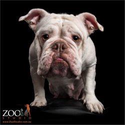 white female australian bulldog