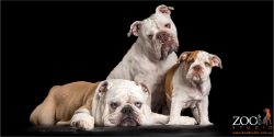 trio of family of australian bulldogs