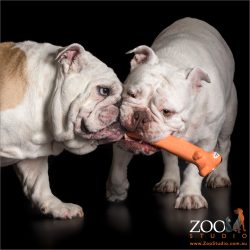 pair of australian bulldogs playing tug over orange toy