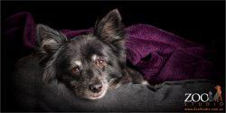 sweet elderly pomperanian wrapped in purple blanket