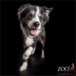 happily running black and white border collie girl