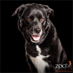 black and white rottweiler kelpie cross with happy smile