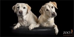 Pair of Golden Labradors sitting together