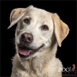 big smiley golden labrador