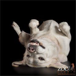 laid back lying on back and smiling golden labrador