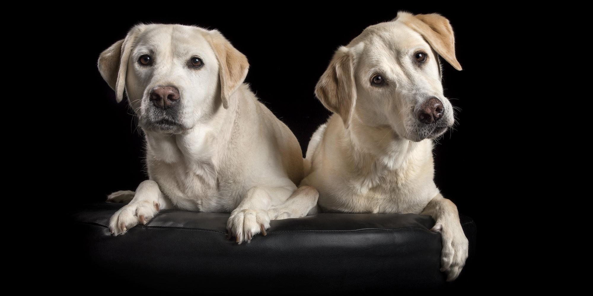 pair of fur-sibling golden labradors