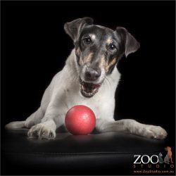 fox terrier girl with red ball