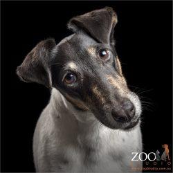 head tilting fox terrier girl