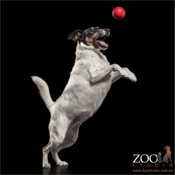 leaping fox terrier after red ball