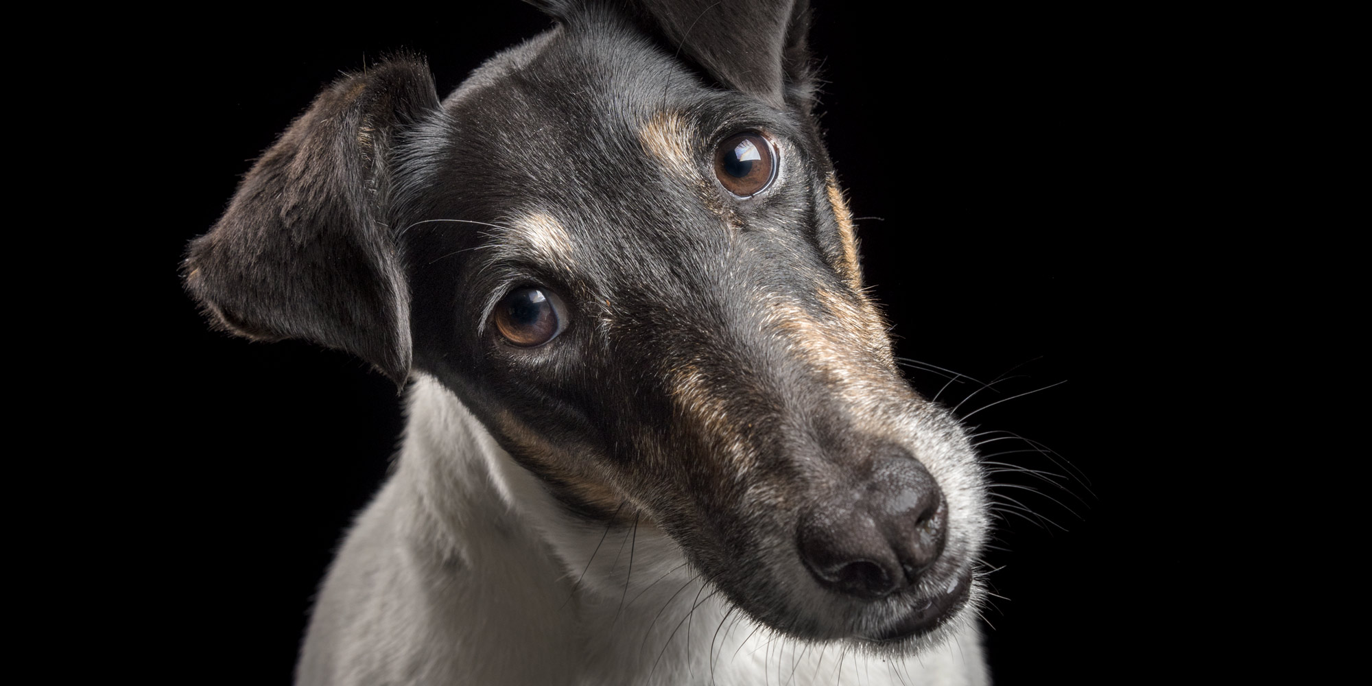 close up of sweet faced fox terrier