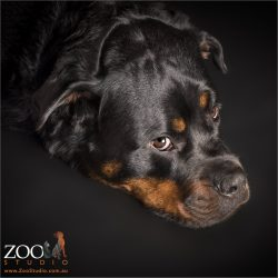 soulful looking rottweiler