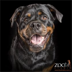 happy smiling black and tan rottweiler