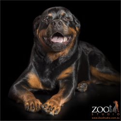 enjoying a good joke male rottweiler