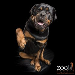 paw shaking male rottweiler