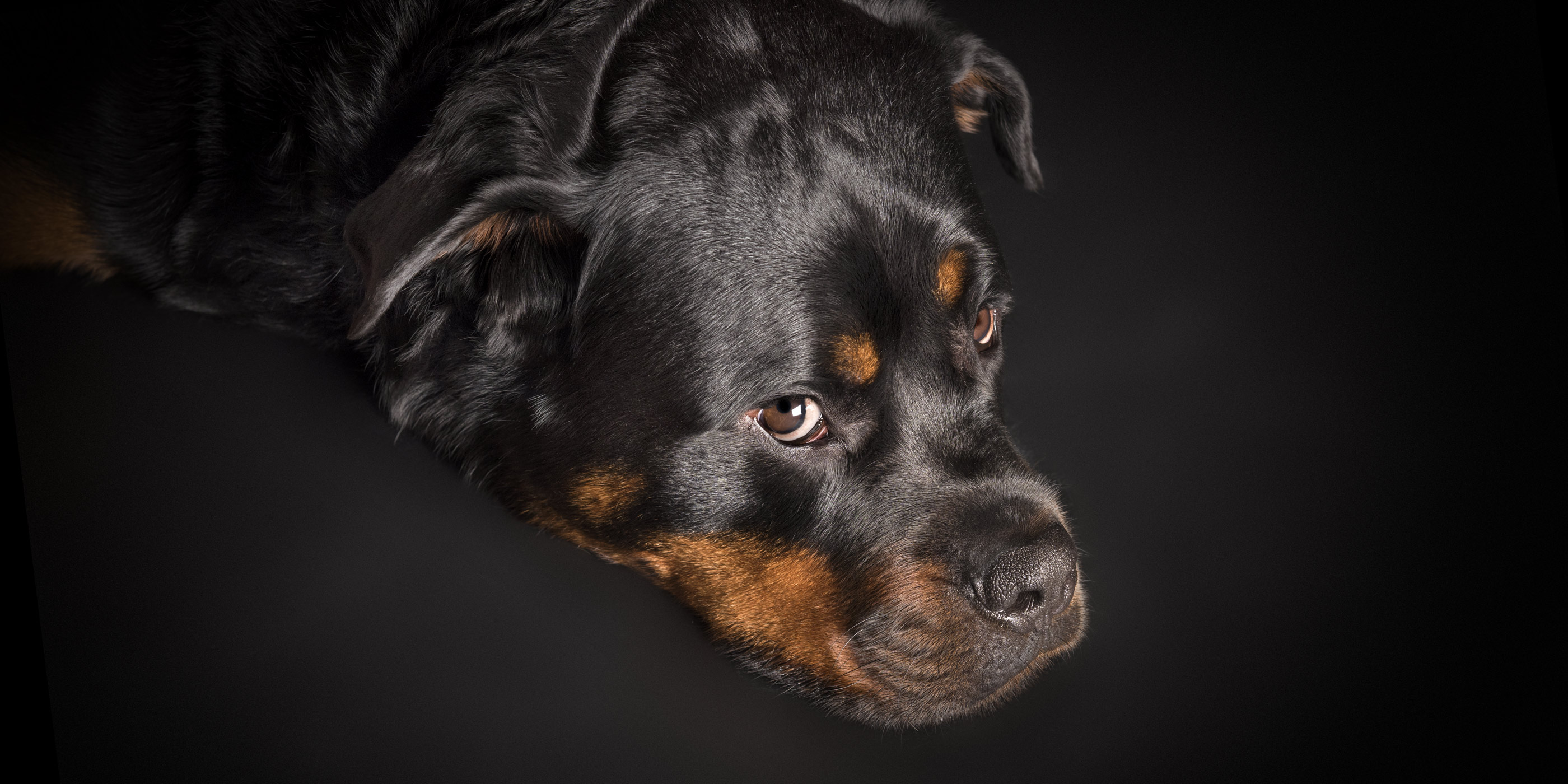 deep in thought black and tan rottweiler