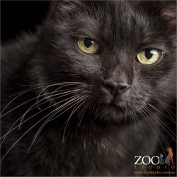 full face of black cat with huge yellow eyes