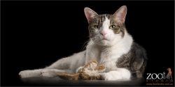 tortoiseshell cat holding fluffy toy