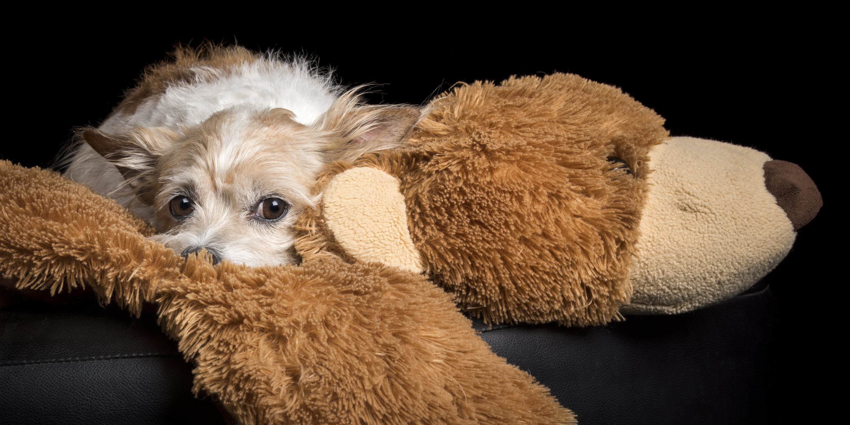 terrier chihuahua cross snuggling with toy