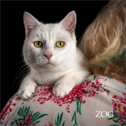 white domestic cat sitting on mum's shoulder