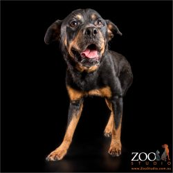 rottweiler ready for a chat