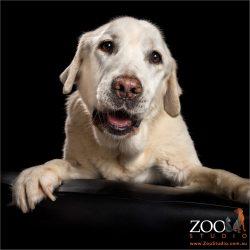 saintly smile on golden labrador's face