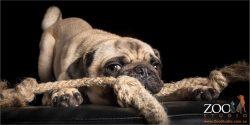 tugging pug
