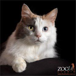 pretty tri-colour domestic cat