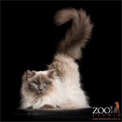 tail aloft seal point rag doll cat