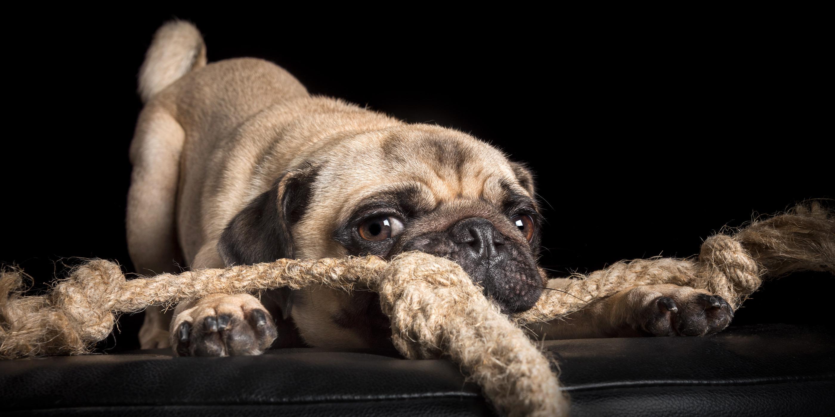 pug having a tug