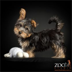lop-eared boy silky terrier puppy