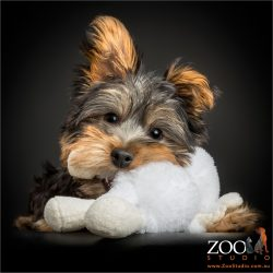 silky terrier puppy chewing white cuddly toy