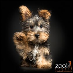 high five waving cute silky terrier puppy