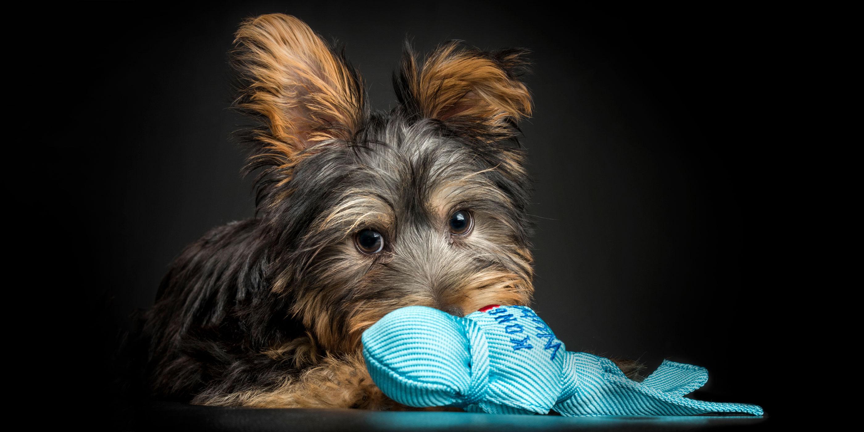 one floppy ear silky terrier boy puppy