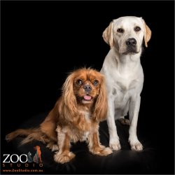 ruby cavalier king charles and golden labrador sisters