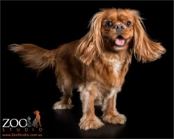 barking for attention ruby cavalier king charles spaniel