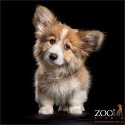 too cute fluffy corgi puppy