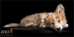 fluffy tan and white corgi girl puppy
