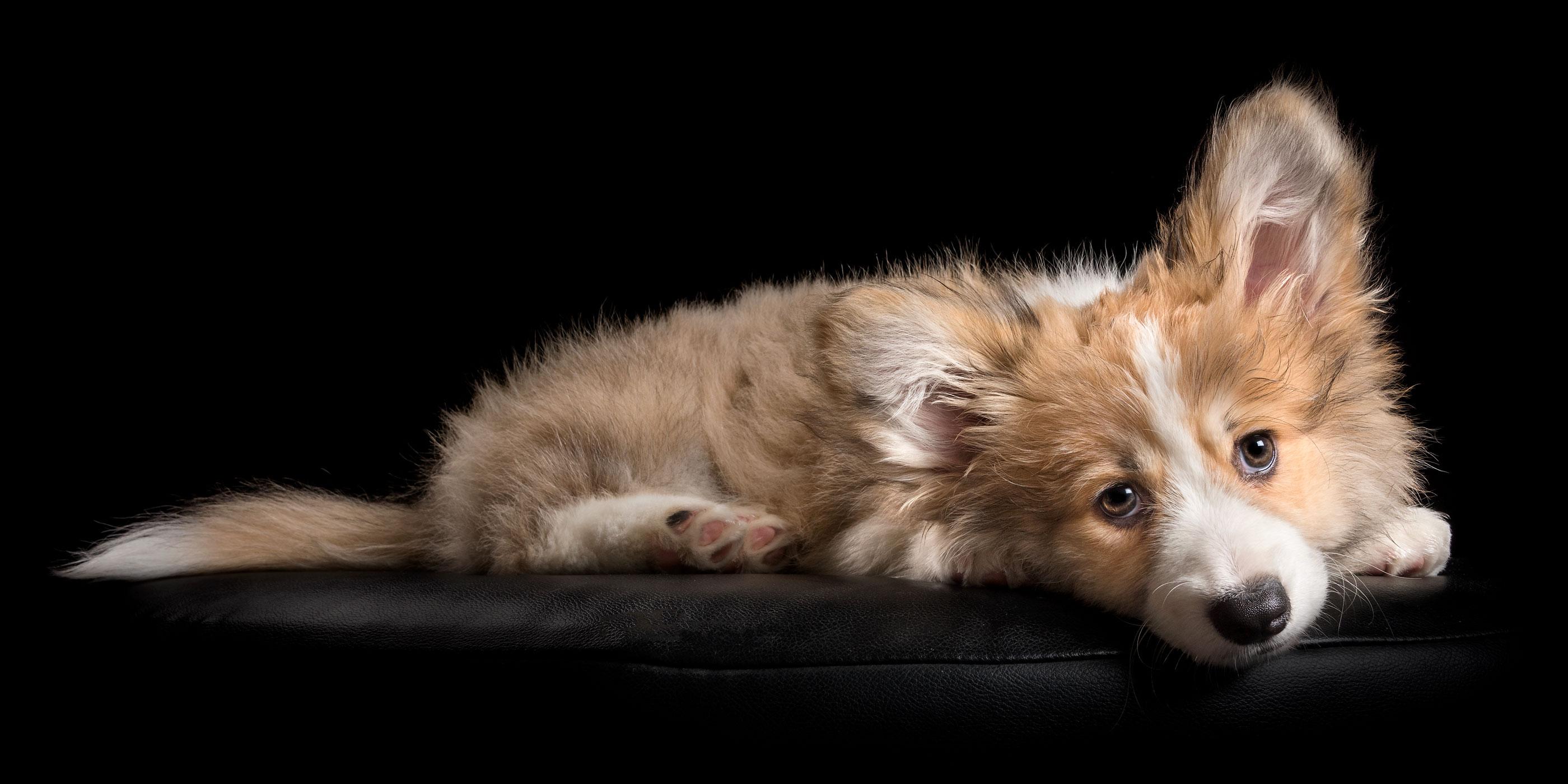 lying down sweet faced fluffy corgi puppy