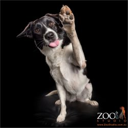 blowing a kiss and high fiving border collie cross