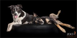 best fur pals kelpie cross and border collie cross girls