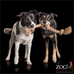 two girls playing tug of war with rope  kelpie cross and border collie cross